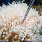 Reef Coral Feeder - 35/55 cm Long